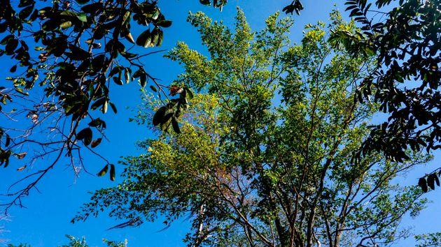 Κολομβία: Guaimaro, ένα «μαγικό δέντρο» προστατεύει τον