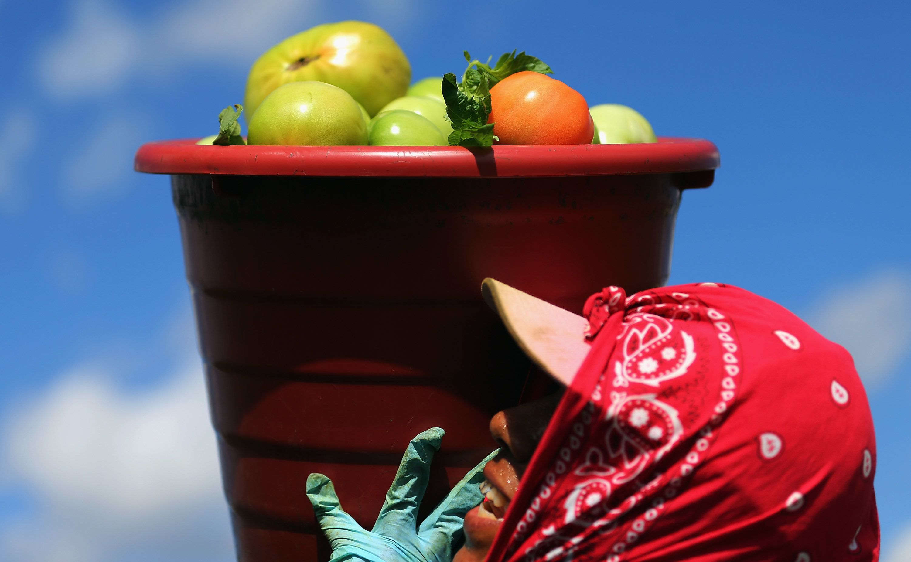 A worker carries a bucket of tomatoes in Florida City, Florida.