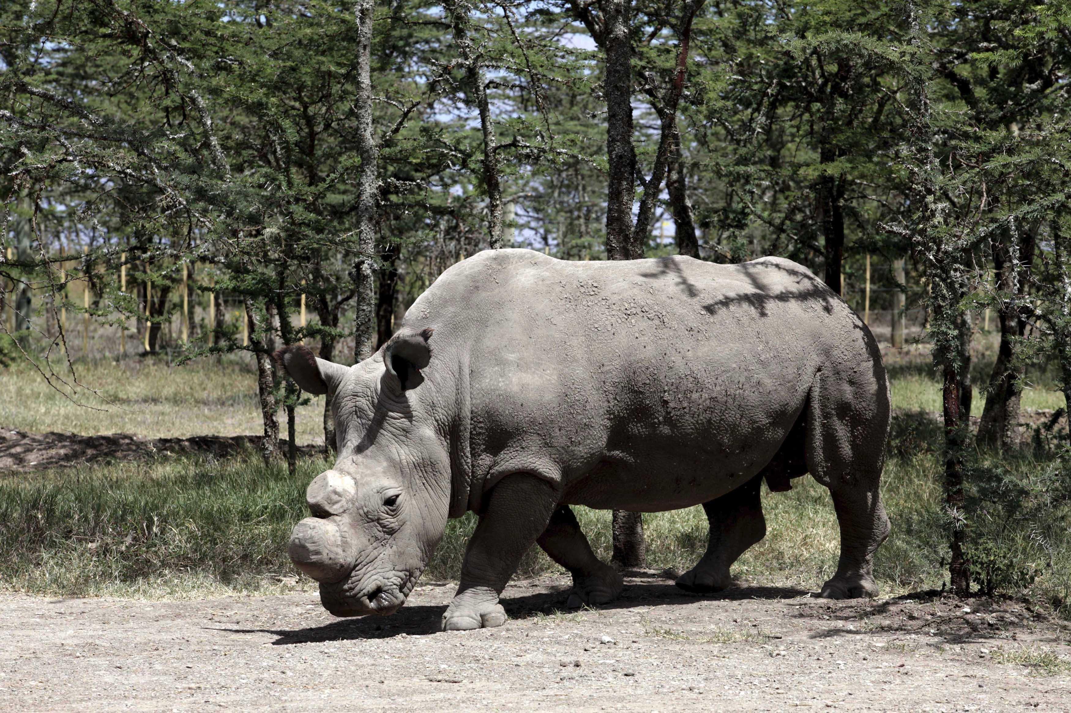 Letzter Breitmaulnashorn-Bulle ist tot: So könnte er seine Art noch