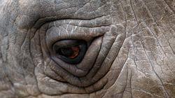 지구상 마지막 수컷 북부흰코뿔소가 안락사로 눈을