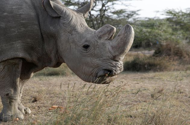 Sudan, the world's last male northern white rhino, has