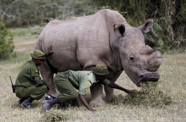 Only two female northern white rhinos