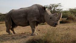 Πέθανε ο τελευταίος αρσενικός λευκός ρινόκερος του