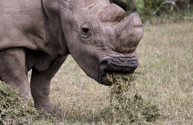 Sudan died at the age of 45, which is considered elderly for a