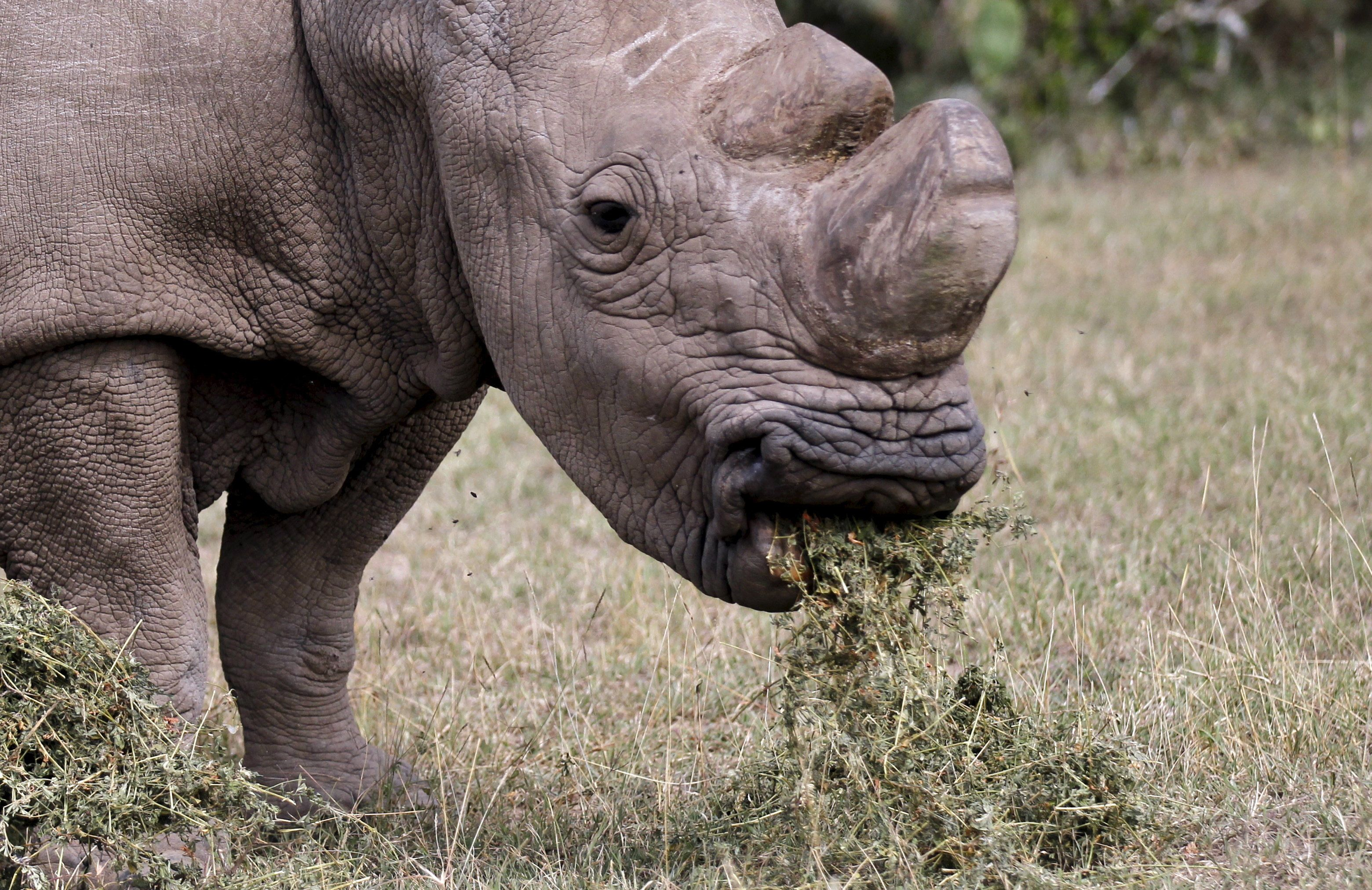 Sudan died at the age of 45, which is considered elderly for a rhino.