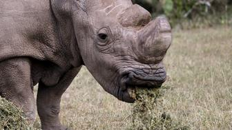 The last surviving male northern white rhino named 'Sudan' grazes at the Ol Pejeta Conservancy in Laikipia national park, Kenya June 14, 2015. A cricket tournament was hosted at the home of the last surviving male northern white rhino, and hopes to raise awareness of the plight of endangered animals and the need for community involvement in conservation. REUTERS/Thomas Mukoya