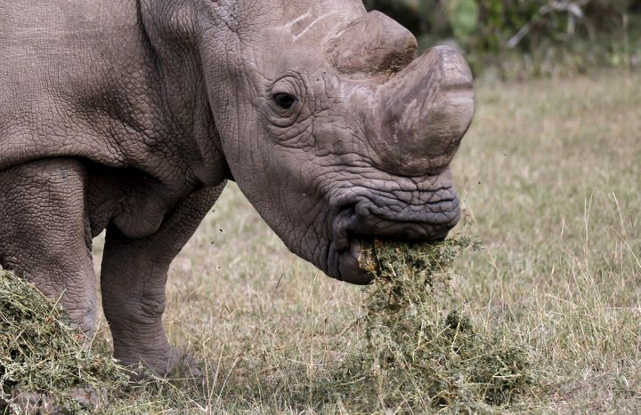 Sudandied at the age of 45, which is considered elderly for a rhino.