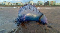 Des galères portugaises (et très dangereuses) aperçues sur la plage