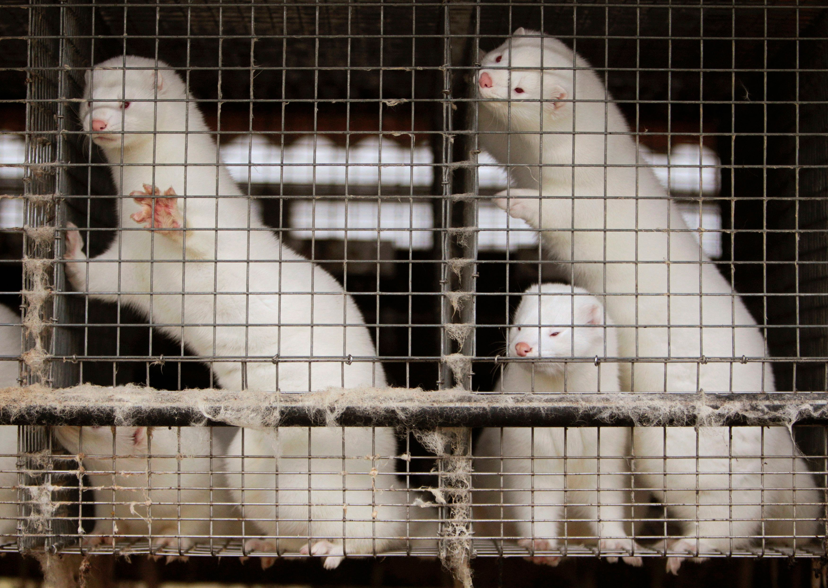 San Francisco City Supervisor Katy Tang, who sponsored the fur sale ban,expressed hope that the law will set an example for other cities. Minks are seen at a fur farm in Belarus.