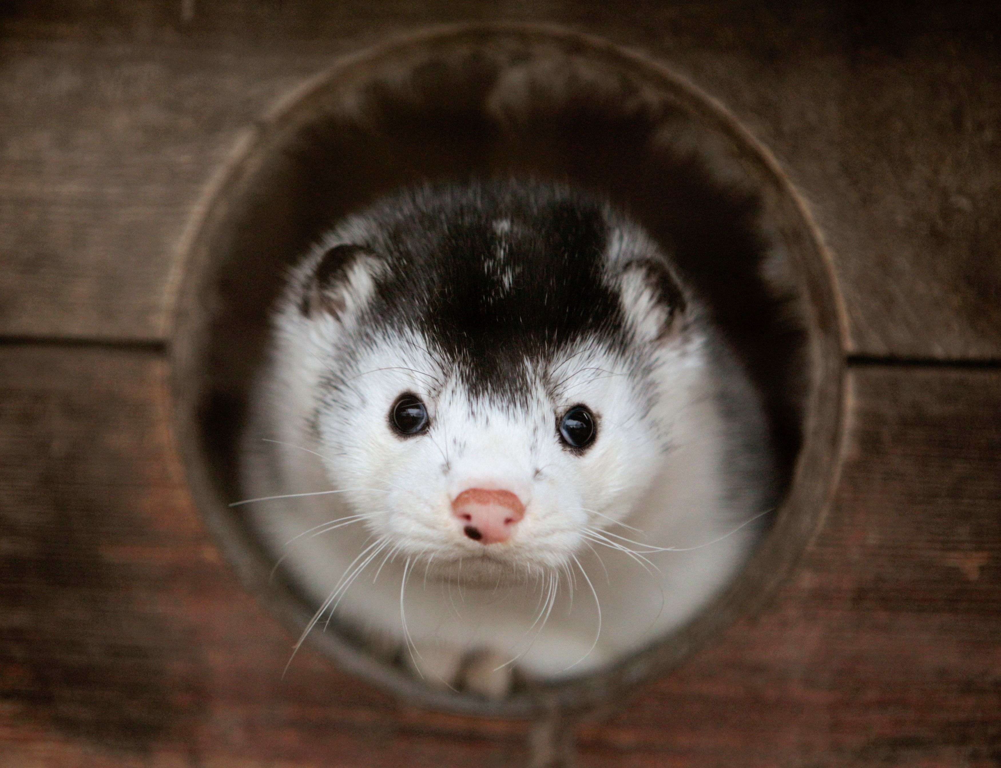 A mink looks out of its cage at a fur farm near the town of Kalinkovichi in Belarus. San Francisco is one signature away