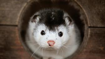 A mink looks out of its cage at a fur farm near the town of Kalinkovichi, some 220 km (137 miles) southeast of Minsk November 22, 2011. About 150,000 pelts will be produced at the farm this year, the farm's director said. REUTERS/Vasily Fedosenko (BELARUS - Tags: ANIMALS ENVIRONMENT SOCIETY BUSINESS TPX IMAGES OF THE DAY)