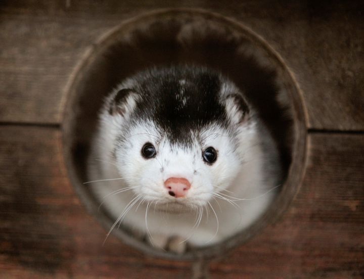 A mink looks out ofits cage at a fur farm near the town of Kalinkovichi in Belarus. San Francisco is one signature away