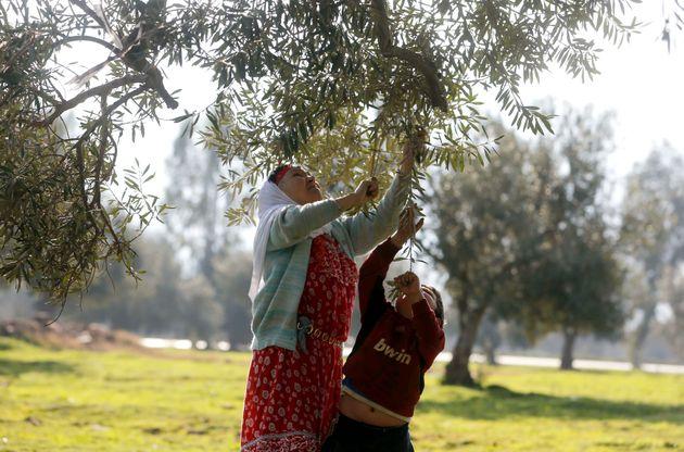 L'olivier et les