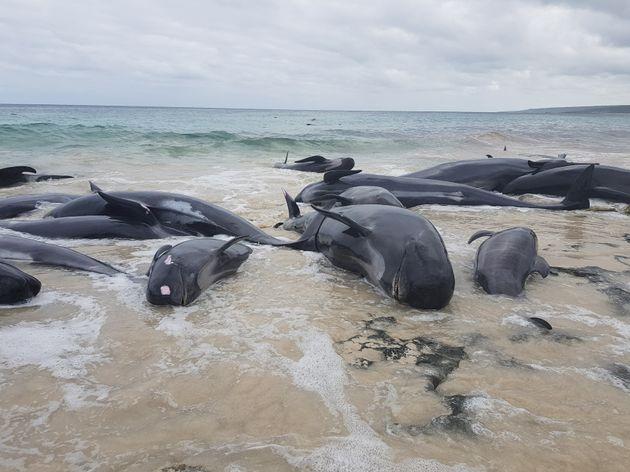 Τουλάχιστον 130 φάλαινες ξεβράστηκαν νεκρές σε παραλία της