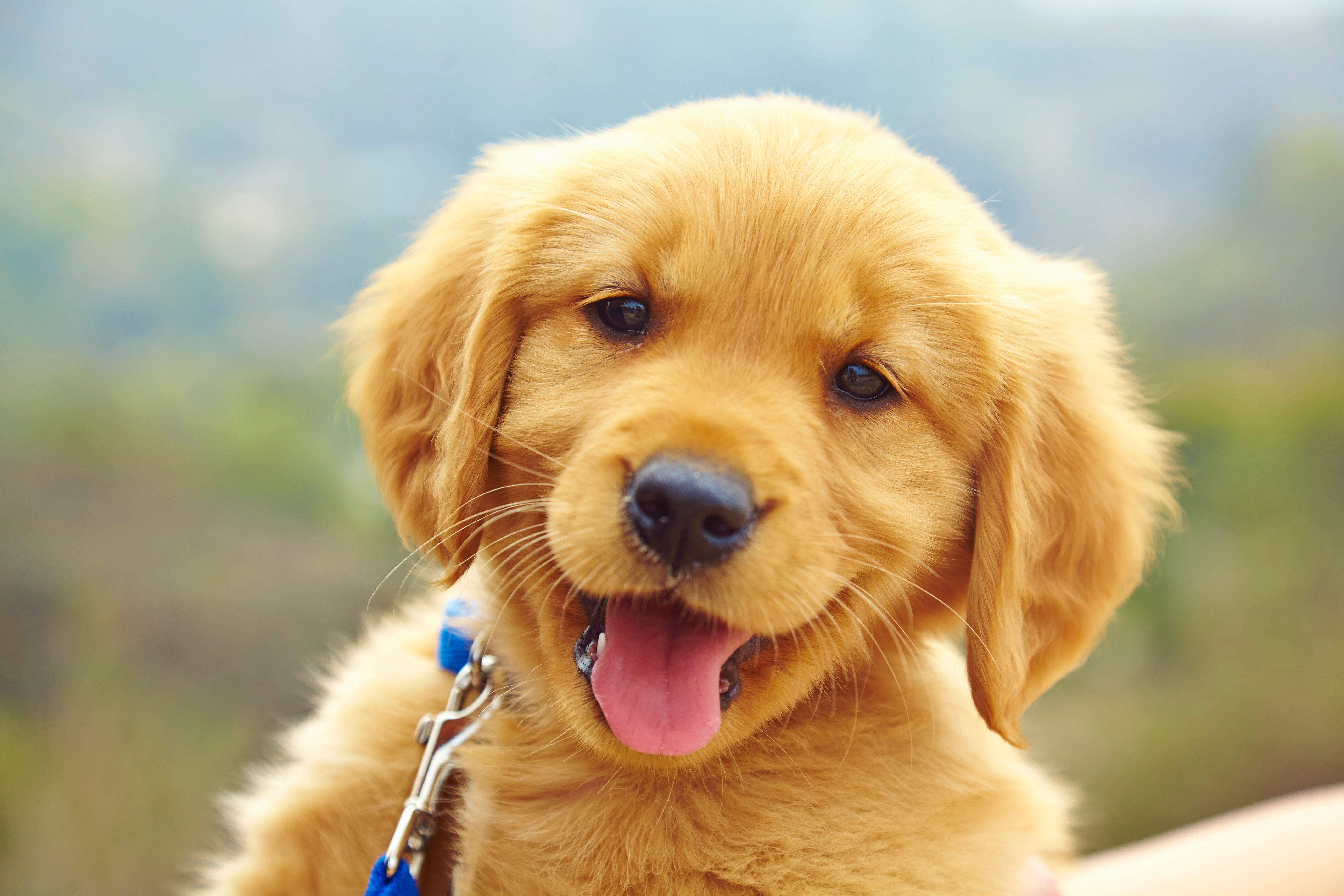 Labrador puppy, portrait