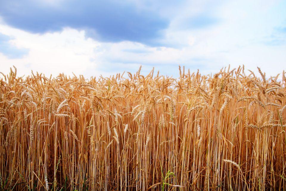 Tunisie: Les semences hybrides, une menace pour le patrimoine agricole
