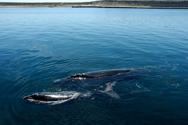 A southern right whale and its calf swim just off the shore of the Puerto Piramides, Argentina, on Oct....