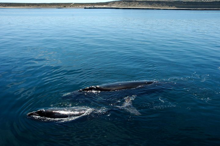 A southern right whale and its calf swim just off the shore of the Puerto Piramides, Argentina, on Oct. 31, 2008. Researchers