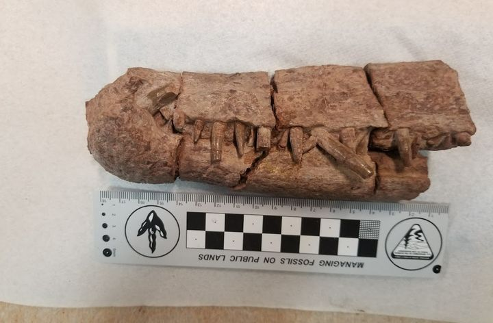 The snout of the phytosaur Pravusuchus discovered within the original boundary of Bears Ears National Monument.
