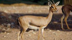 Tlemcen: lancement d'un programme de protection de la gazelle du