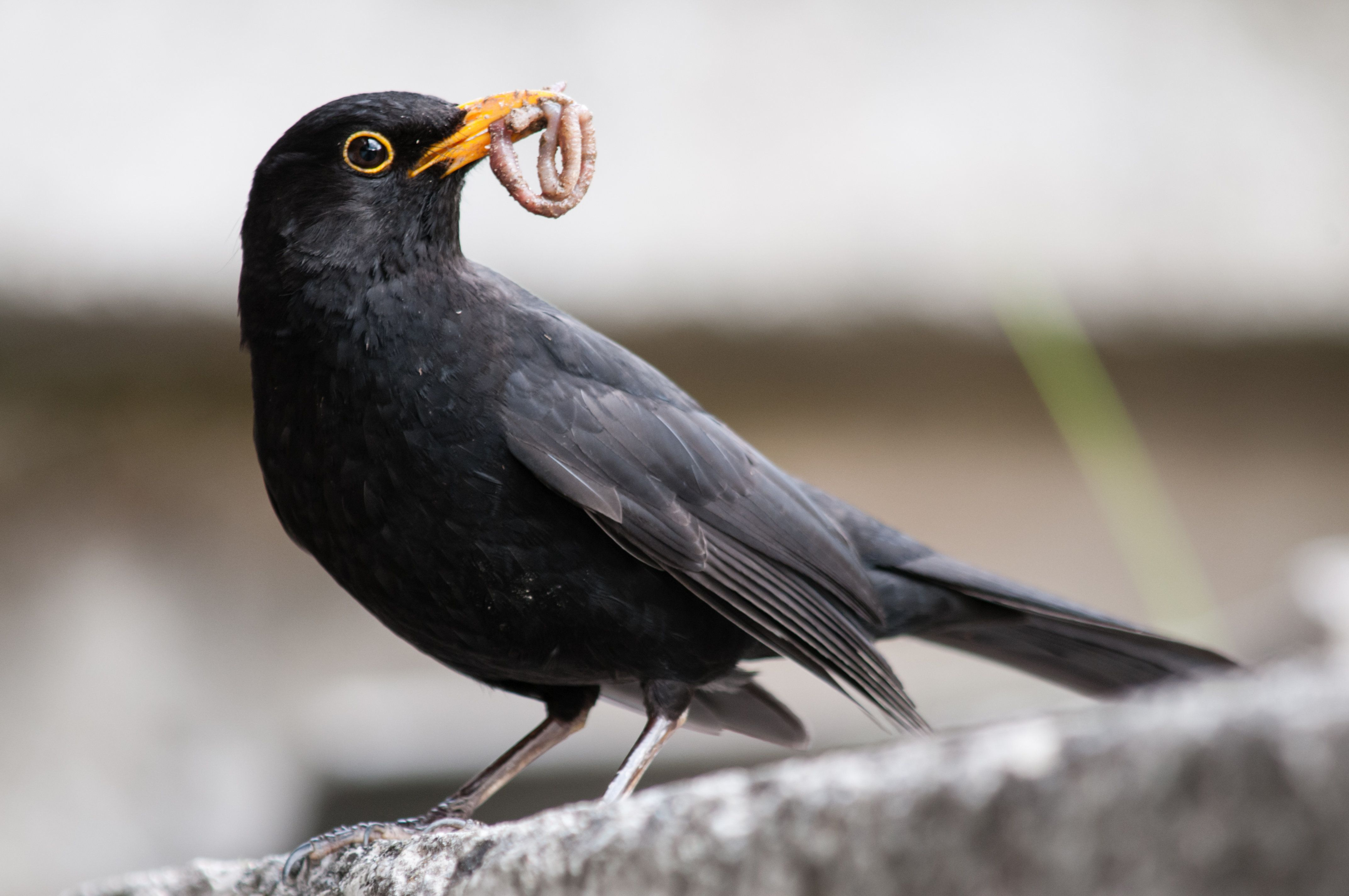 blackbird with worm in mouth