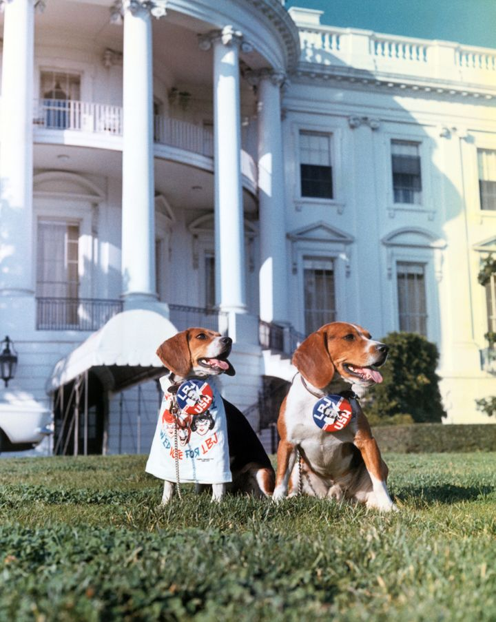 Johnson's beagles wear campaign buttons in 1964.