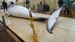Chasse à la baleine: le Japon tue 333 cétacés dans