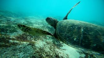 A Green Sea turtle swims over a reef near the surf break known as 'Pipeline' on the North Shore of Oahu, Hawaii  March 20, 2013. REUTERS/Hugh Gentry (UNITED STATES - Tags: ENVIRONMENT SOCIETY ANIMALS)