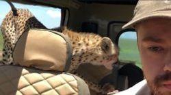 Le calme de ce touriste face à un guépard dans sa voiture est