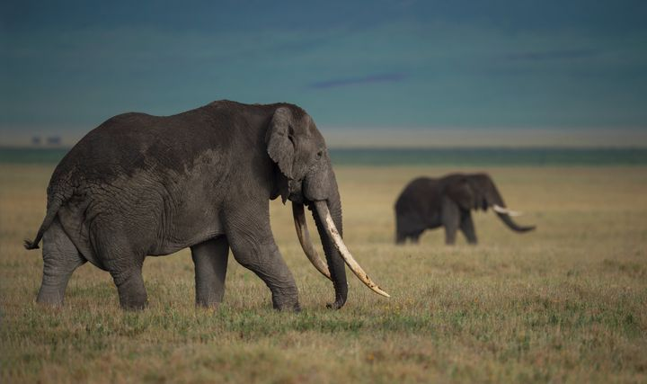 """""""The abhorrent ivory trade should become a thing of the past,"""" Britain's environment secretary said Tuesday."""