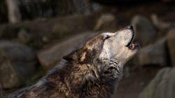 Mann lebte 12 Jahre unter Wölfen – das ist seine Botschaft an die Menschheit