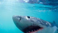 Τρόμος στη θάλασσα: Λευκός καρχαρίας διακόπτει αστυνομική επιχείρηση στην