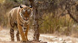 Ινδία: 23χρονη πάλεψε με τίγρη για να σώσει την κατσίκα της ενώ υπέστη κι η ίδια τραυματισμούς