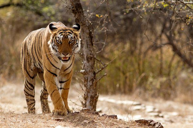Ινδία: 23χρονη πάλεψε με τίγρη για να σώσει την κατσίκα της ενώ υπέστη κι η ίδια