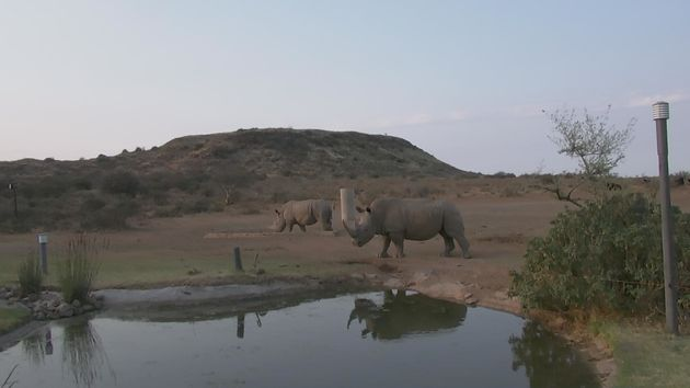 South African rhinos in visible