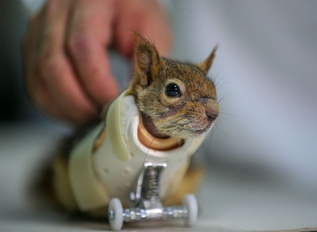 Squirrel Who Lost Paws In Trap Gets Prosthetic