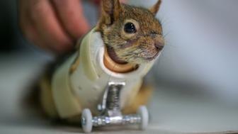 ISTANBUL, TURKEY - MARCH 30: Karamel, the squirrel who lost his front paws after he got stuck on a wild animal trap in Batman, wears its temporary prosthesis for the first time at Istanbul Aydin University Vocational School of Health Services in Istanbul, Turkey on March 30, 2018. (Photo by Emrah Yorulmaz/Anadolu Agency/Getty Images)