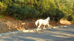 IX στην Ξάνθη παρέσυραν και τραυμάτισαν θανάσιμα ένα λευκό άλογο που βρέθηκε στη μέση του