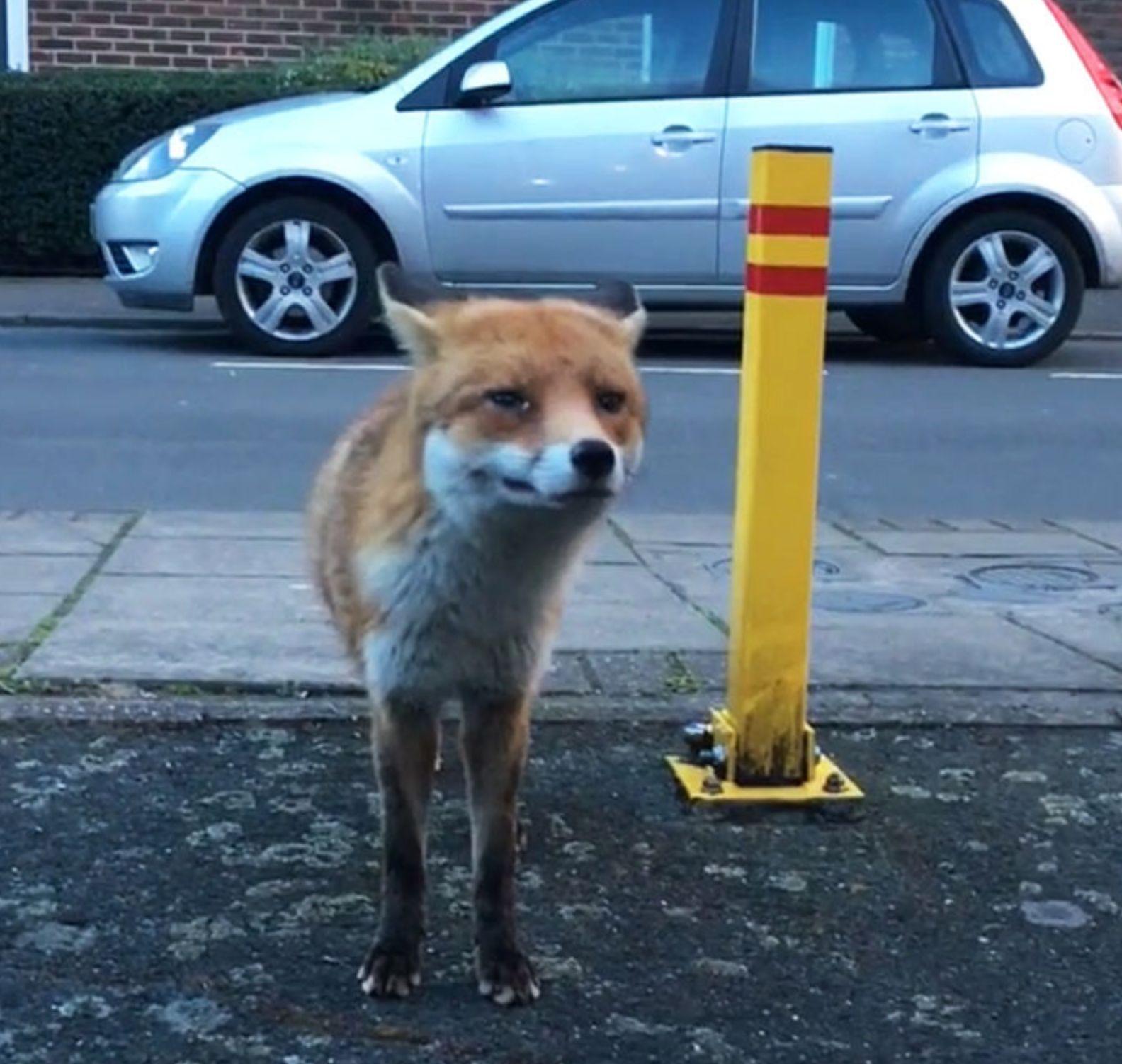 Blauäugig lockte ein Mann einen Fuchs an, um ihn zu filmen – jetzt bereut er es