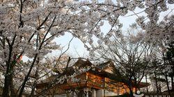 [D-1] 미리 보는 여의도 봄꽃 축제