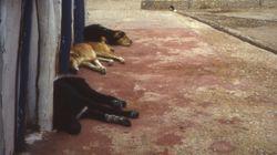 Des chiens abattus près d'Agadir avant le passage de la mission de la