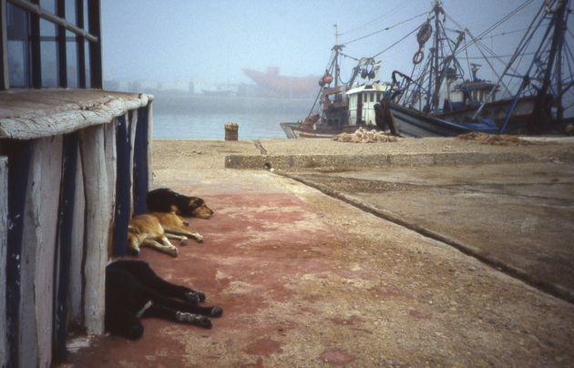 Des chiens errants sur le port d'Essaouira au Maroc(image
