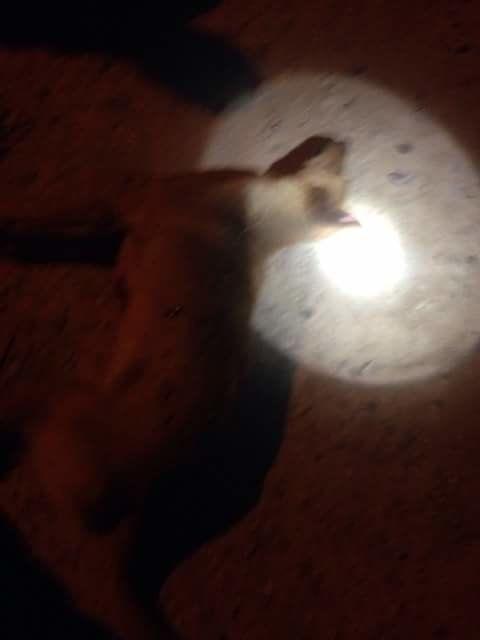 Mondial 2026: Des chiens abattus près d'Agadir avant le passage de la mission de la