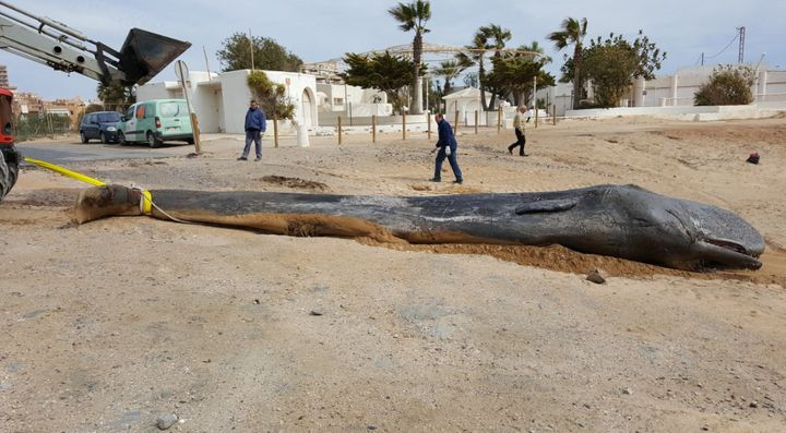 The young male sperm whale was found dead off the coast of southeast Spain.
