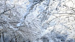 봄 벚꽃 위에 눈이 내려 만들어진 환상적인 풍경