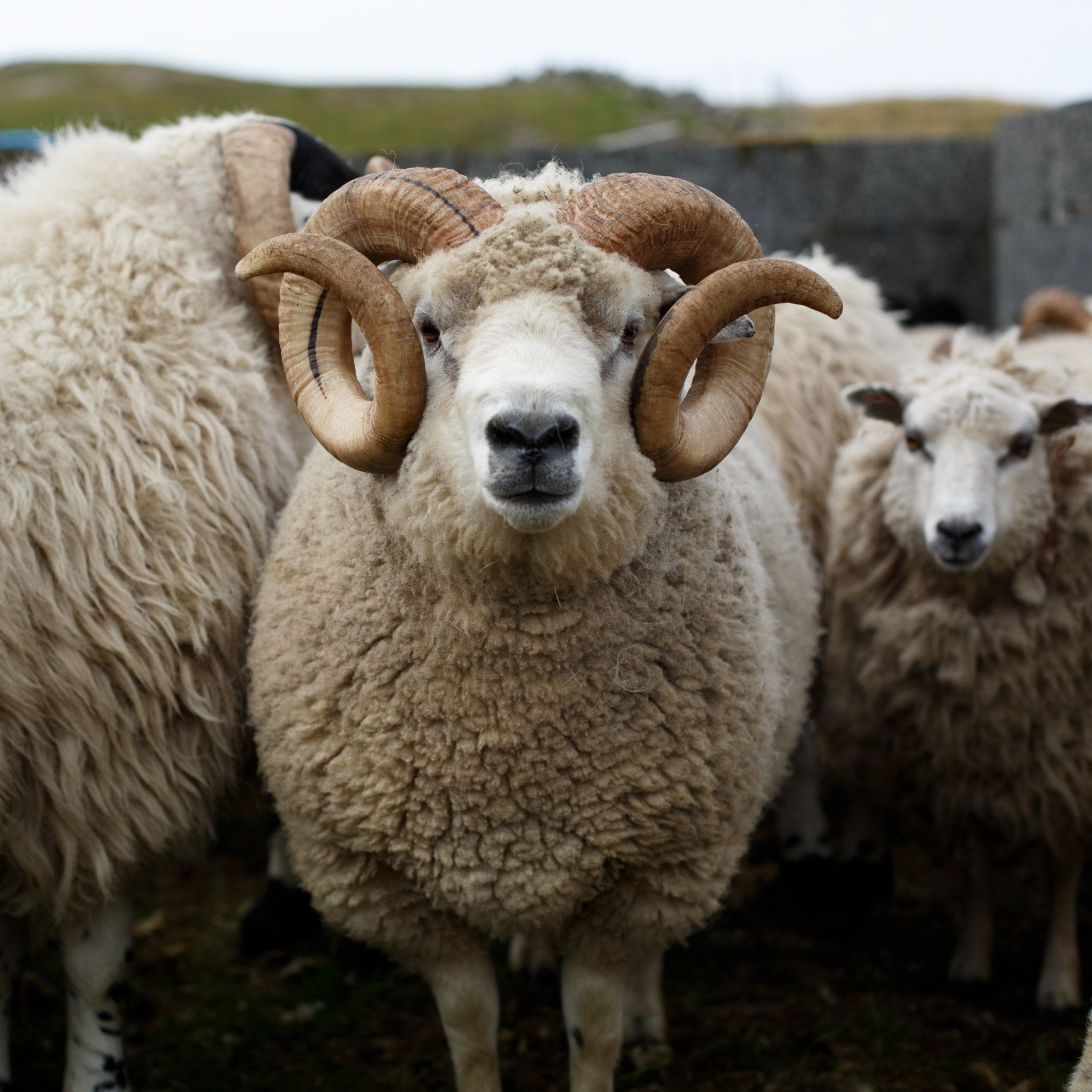 Man 'Wrestles' Ram In Derbyshire That Is Inflicting 'Reign Of Terror' On