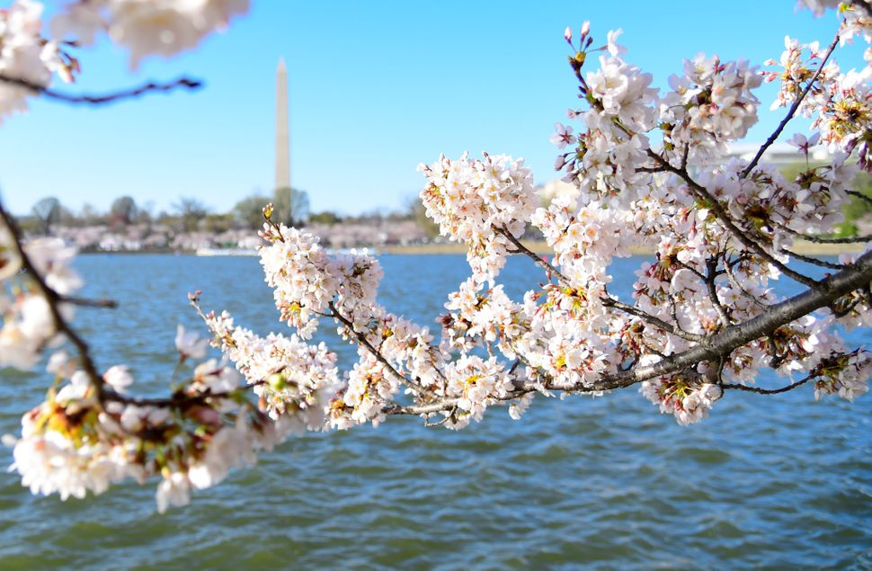 Cherry blossoms are seen along the Tidal Basin.