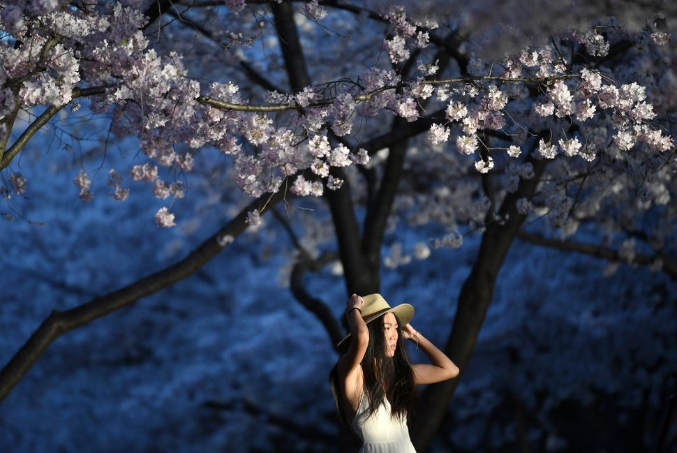 Bathed in early morning light under a canopy of cherry blossoms, Ray Gou of Boston adjusts her hat near the Tidal Basin.