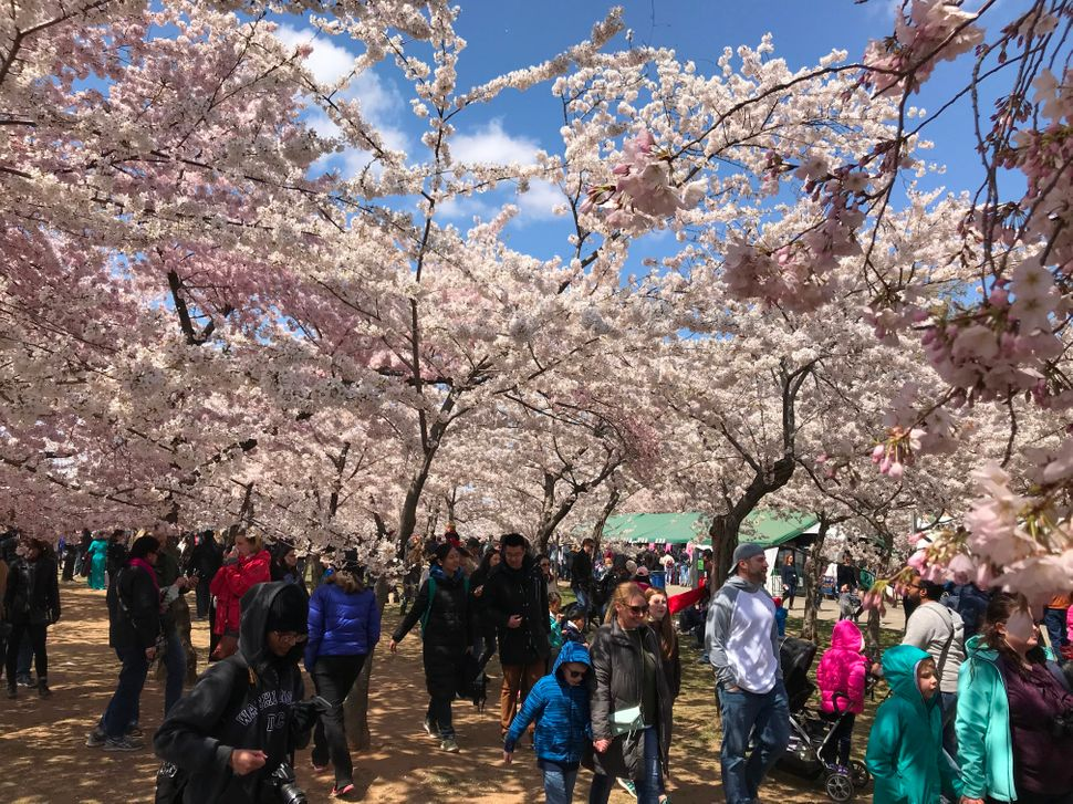 People walk along the cherry blossom trees as they bloom around the Tidal Basin.
