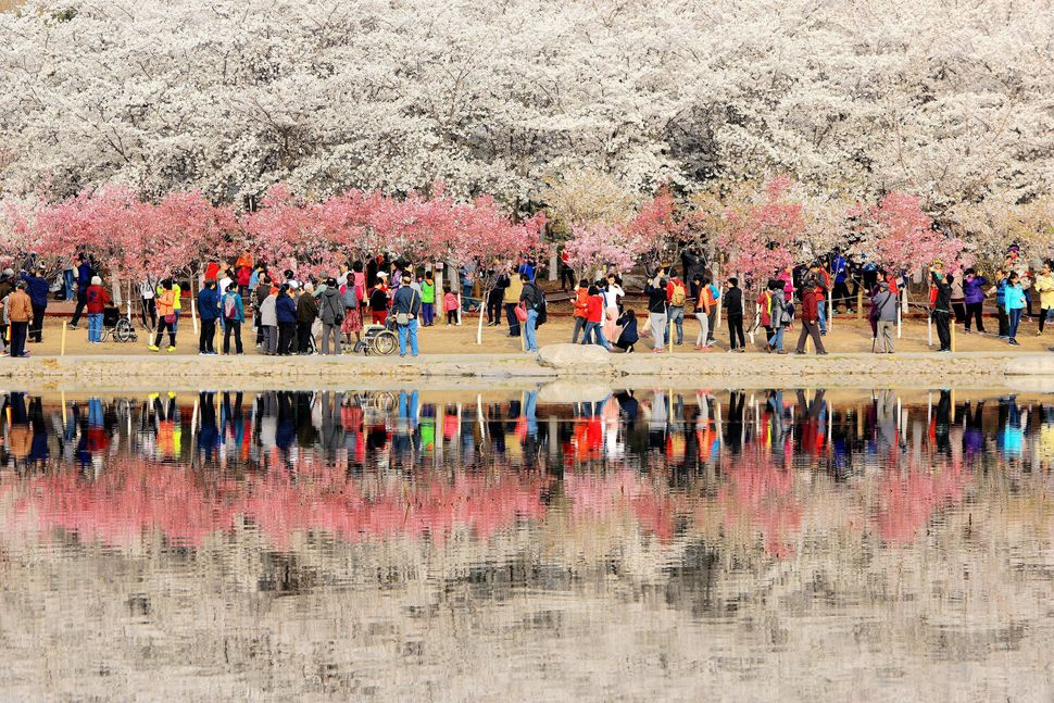 People enjoy cherry blossom at Yuyuantan Park.